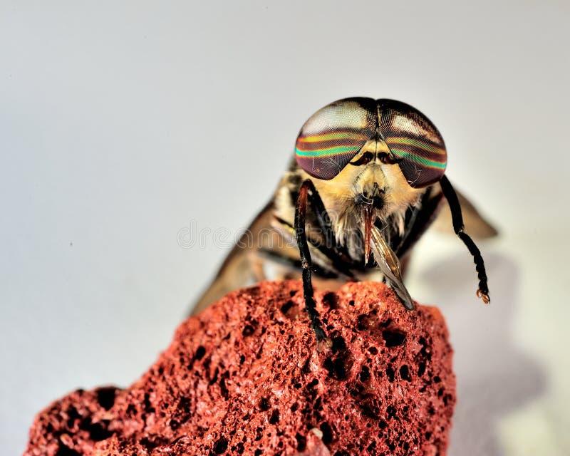 Końskiej komarnicy oko fotografia stock