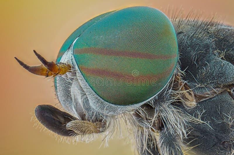 Końskiej komarnicy portret fotografia stock