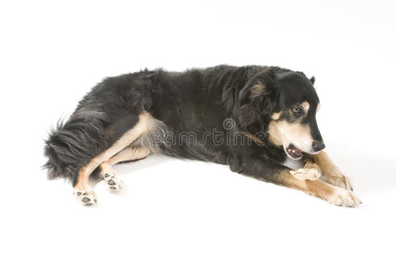 kość pies zdjęcia royalty free