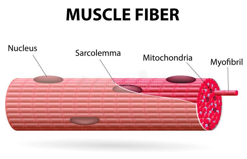 Kośćcowego mięśnia włókno ilustracja wektor