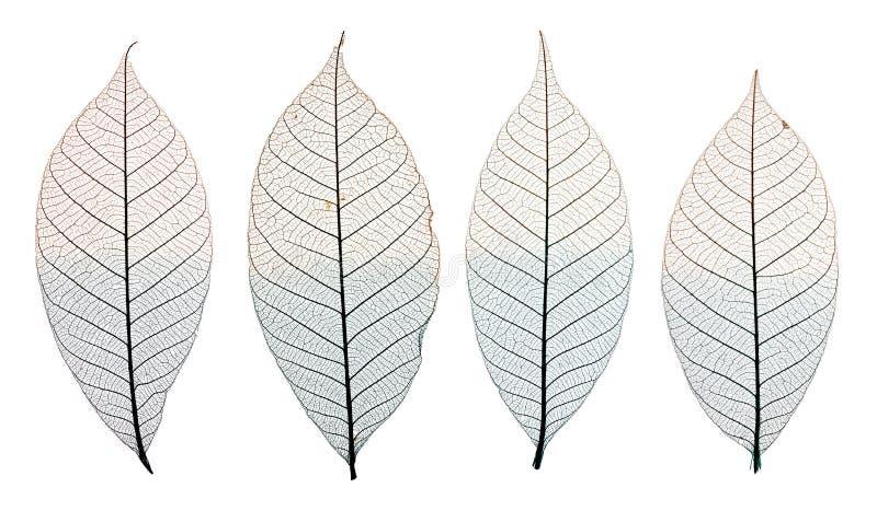Kośców liście odizolowywający na bielu zdjęcie royalty free