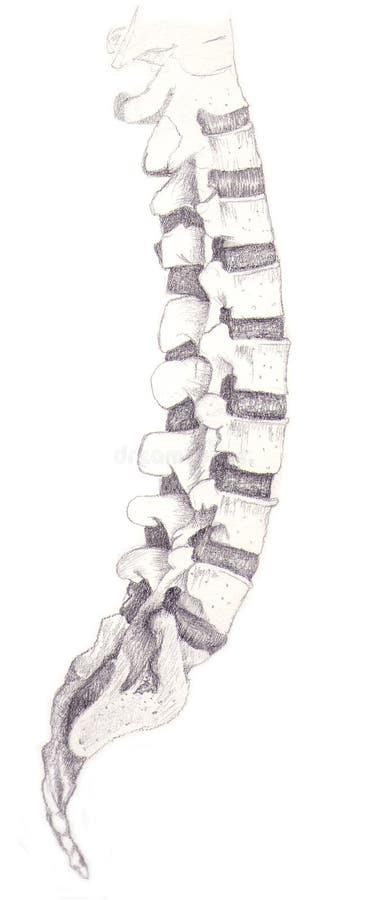 kości dordzeniowe ilustracji