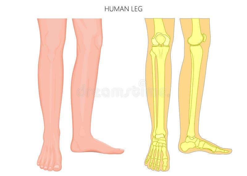 Kości fracture_Human nogi kościec i anatomia royalty ilustracja