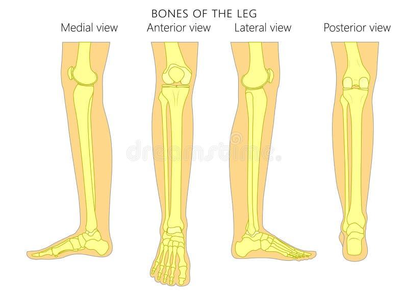 Kości fracture_Leg anatomii kości ilustracji