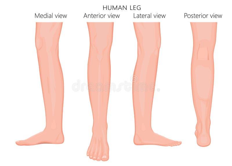 Kości fracture_Leg anatomii europejczyk ilustracji