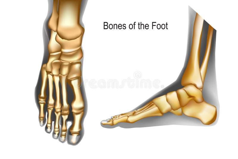 Kości stopa odgórny i medial widok royalty ilustracja