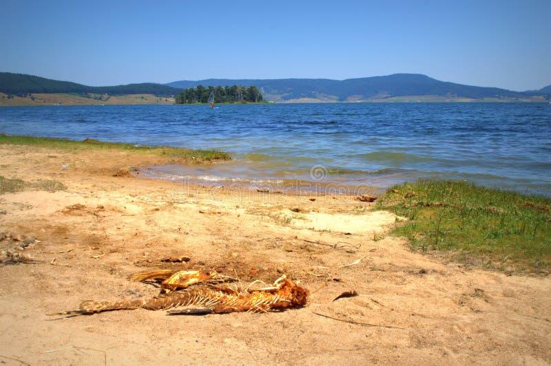 Kościec ryba na jeziornym brzeg fotografia royalty free