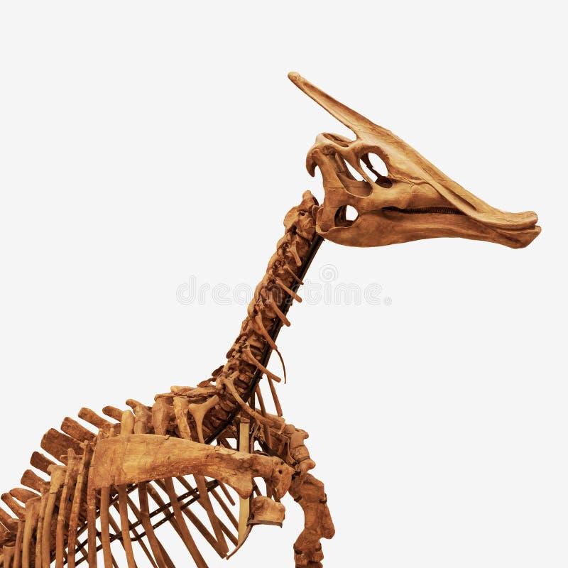 Kościec trawożerny dinosaur odizolowywający na białym tle zdjęcia royalty free