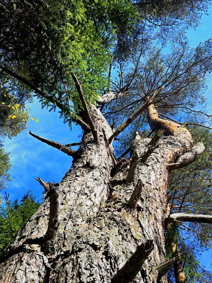 Koślawy drzewo aspiruje niebo fotografia stock