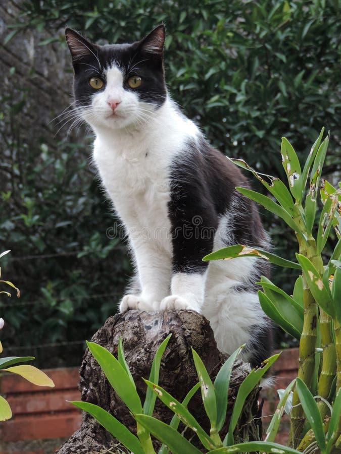 Koślawy ogonu kot obrazy royalty free