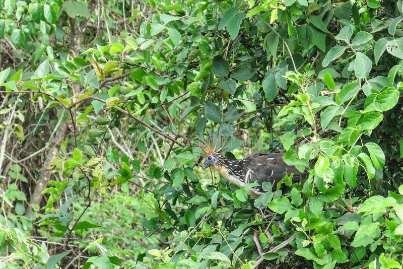Kośnika ptak fotografia stock