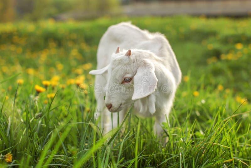 Koźli dzieciaka karmienie na świeżym wiosny trawy gazonie z zamazanym dandeli obrazy stock