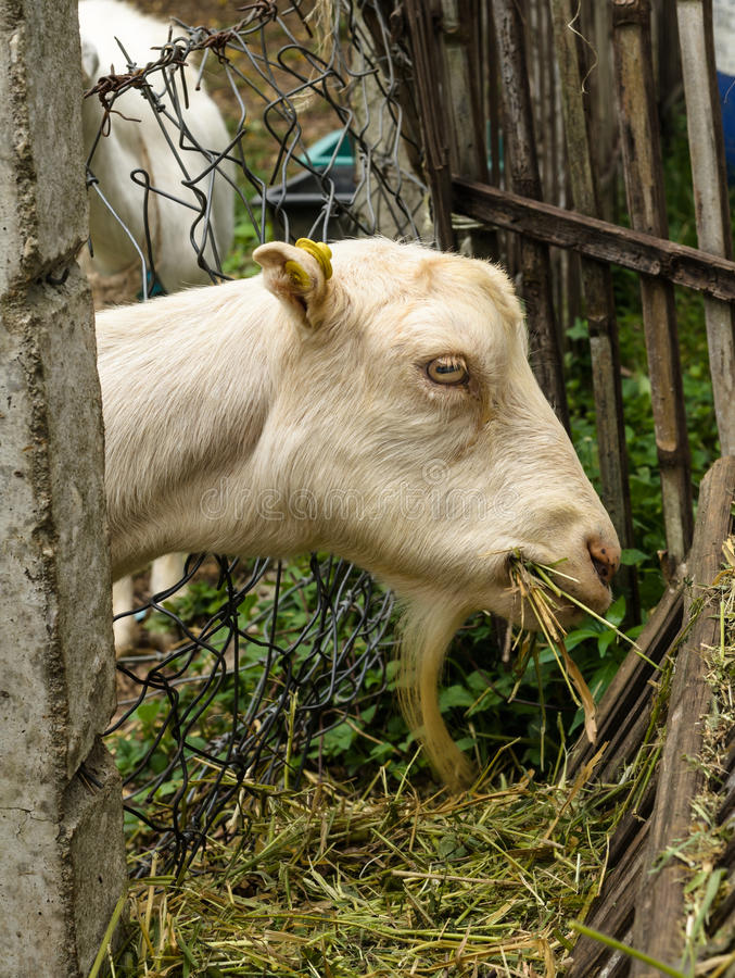 Koźli dzieciaka pobyt w corral eatting trawie obraz royalty free
