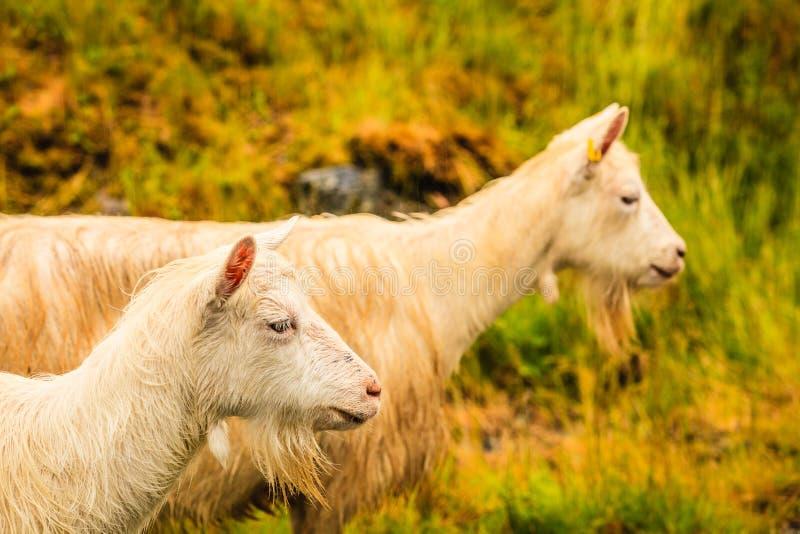 Koźli pasanie na zielonym wzgórzu zdjęcie royalty free