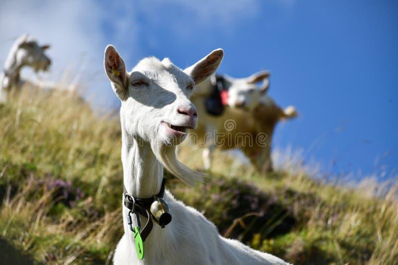 Koźli pasanie w śmiesznym sposobie na wzgórzu, swój goatee falowanie w obraz stock