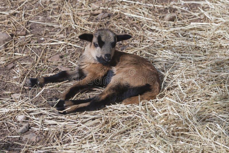 Koźli szczeniak w gospodarstwie rolnym fotografia stock