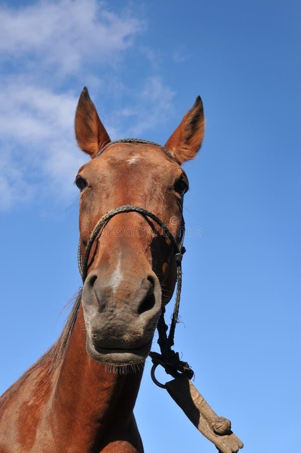 Download Koń zdjęcie stock. Obraz złożonej z niebo, brąz, ssak - 13332648