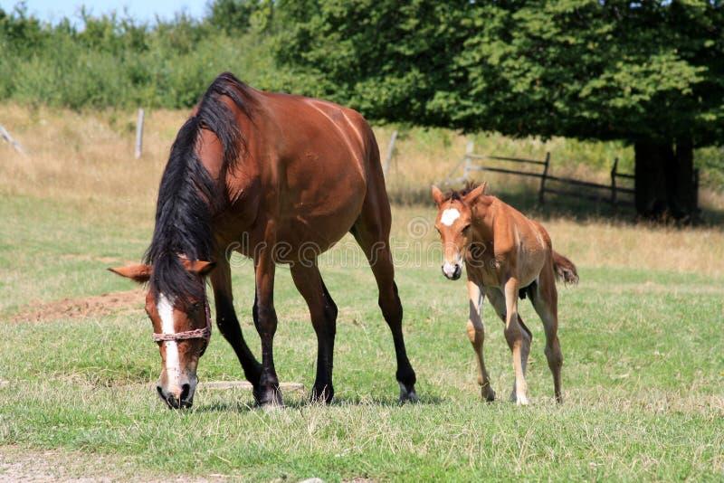 Download Koń obraz stock. Obraz złożonej z natura, wiejski, paśnik - 13342979