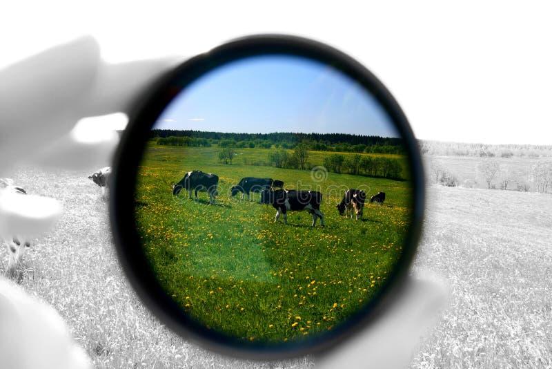 ko fotografering för bildbyråer
