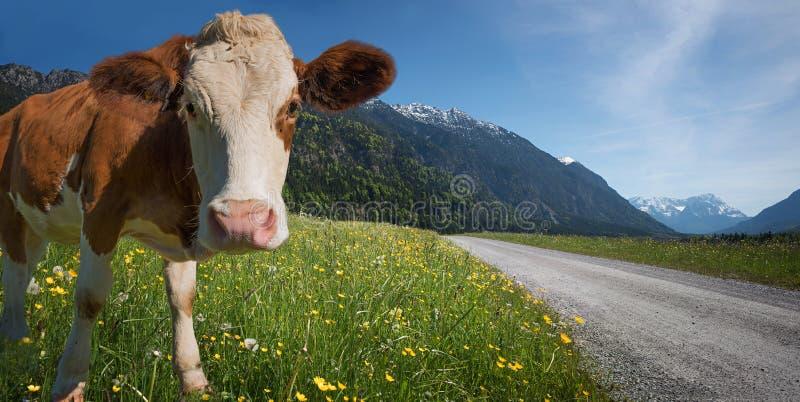 Ko i bergigt landskap arkivfoto