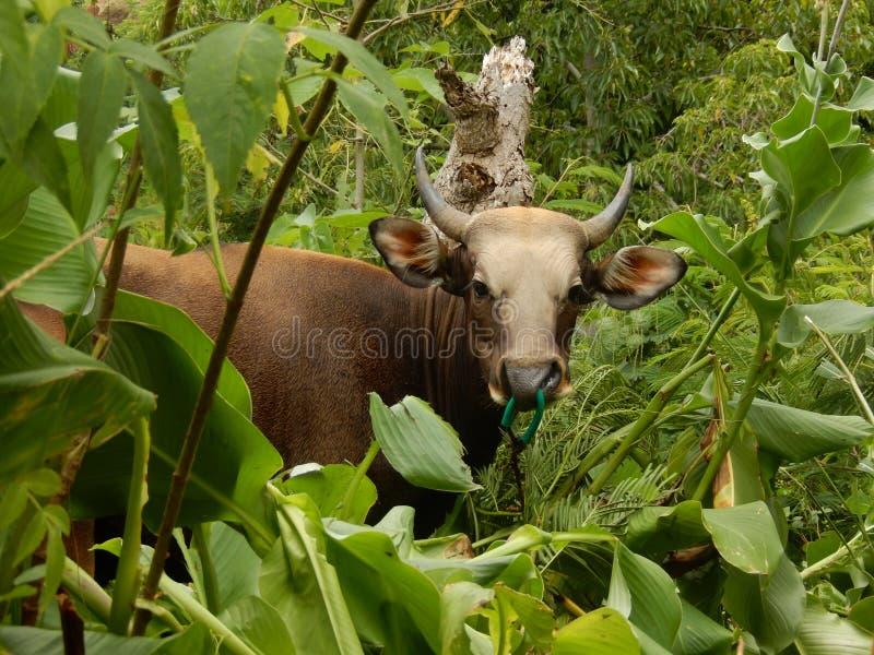 Ko i djungeln royaltyfria bilder