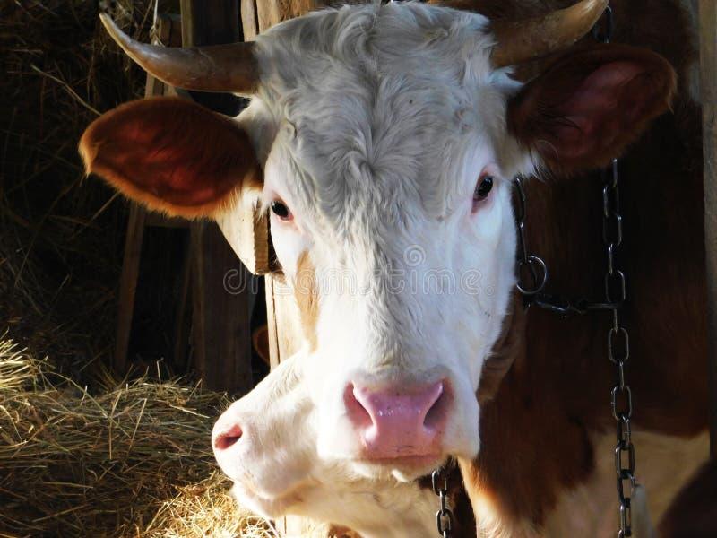 Ko i en lantgård som poserar perfekt royaltyfri fotografi