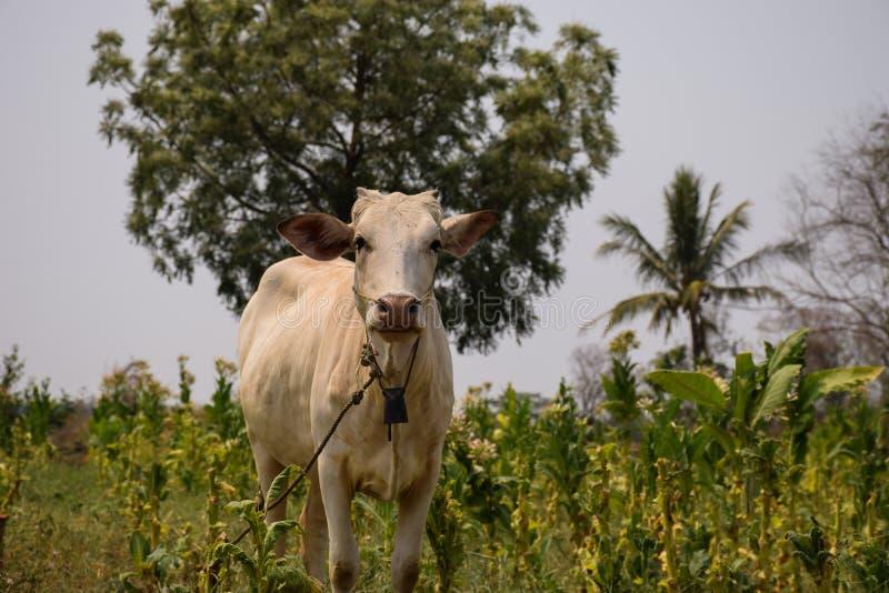 Ko i lantgård arkivfoton