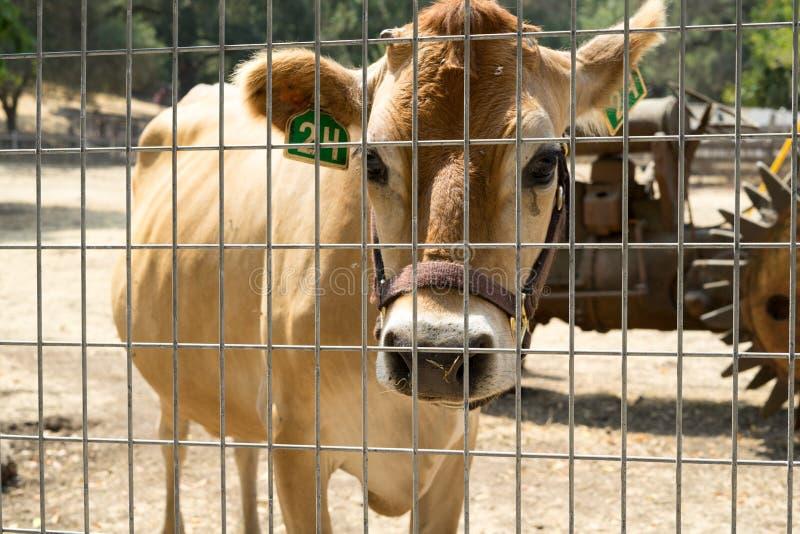 Ko i lantgården arkivbilder