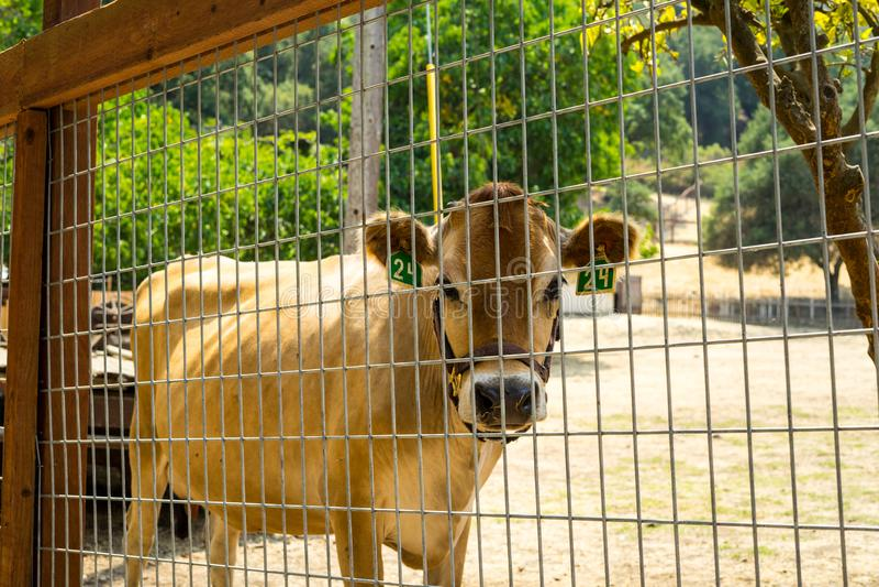 Ko i lantgården royaltyfri bild