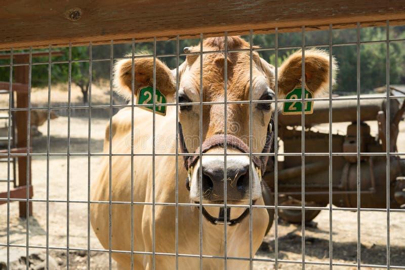 Ko i lantgården royaltyfria foton