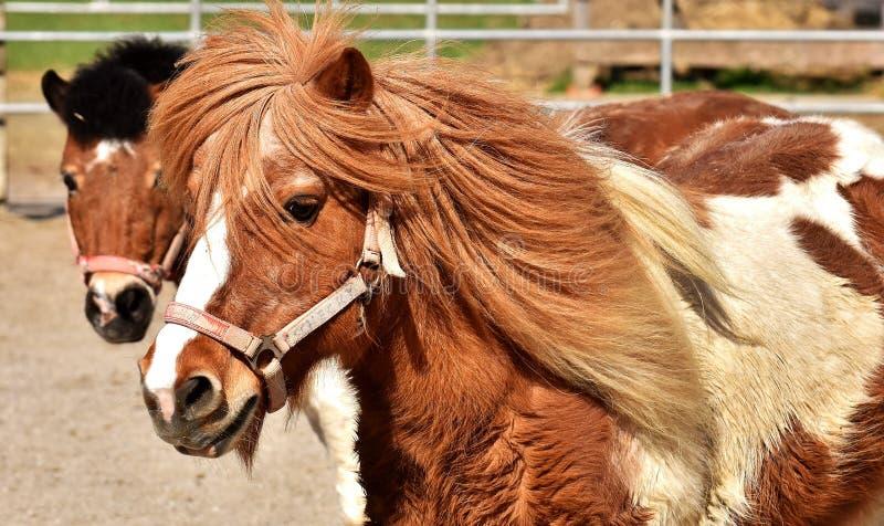 Koń, koń Lubi ssaka, grzywa, uzda