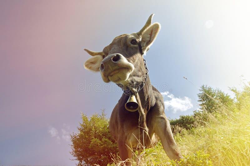 Ko med en klocka arkivfoto