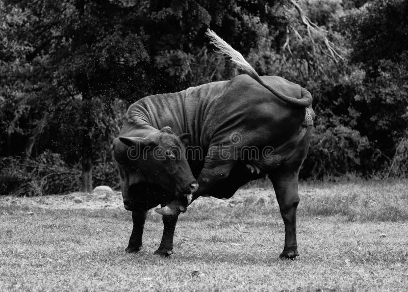 Ko med klåda i svartvitt royaltyfri bild