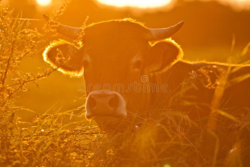 Ko och gräs royaltyfri fotografi