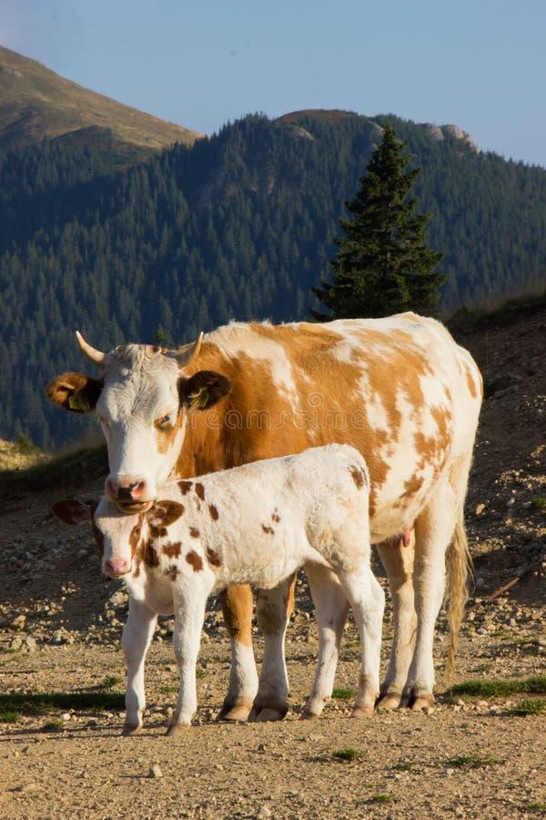 Ko och kalv arkivbild
