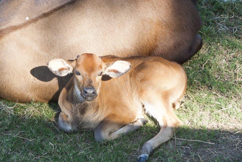 Ko och kalv som vilar Villahermosa, tabasco, Mexico fotografering för bildbyråer