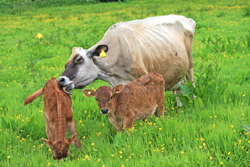 Ko och kalvar arkivfoton