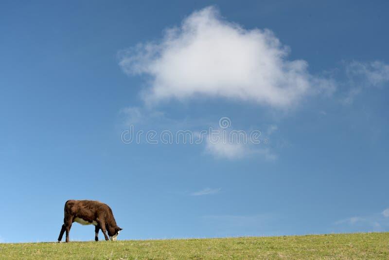 Ko på Ballard Down ovanför Corfe i Dorset royaltyfria bilder