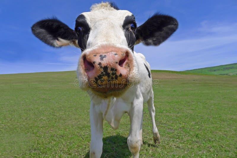 Ko på grässlätt arkivbild