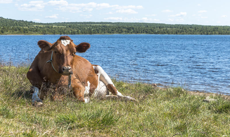 Ko på stranden i Norge arkivbild