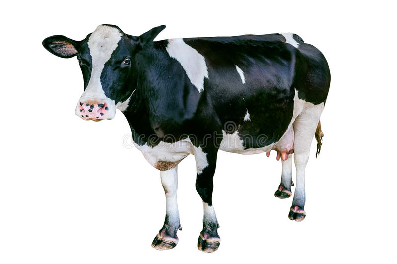 Ko på vit bakgrund