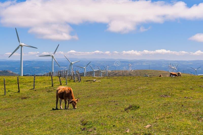 ko som äter gräsängen På bakgrund vindturbinerna för produktion av elektricitet fotografering för bildbyråer