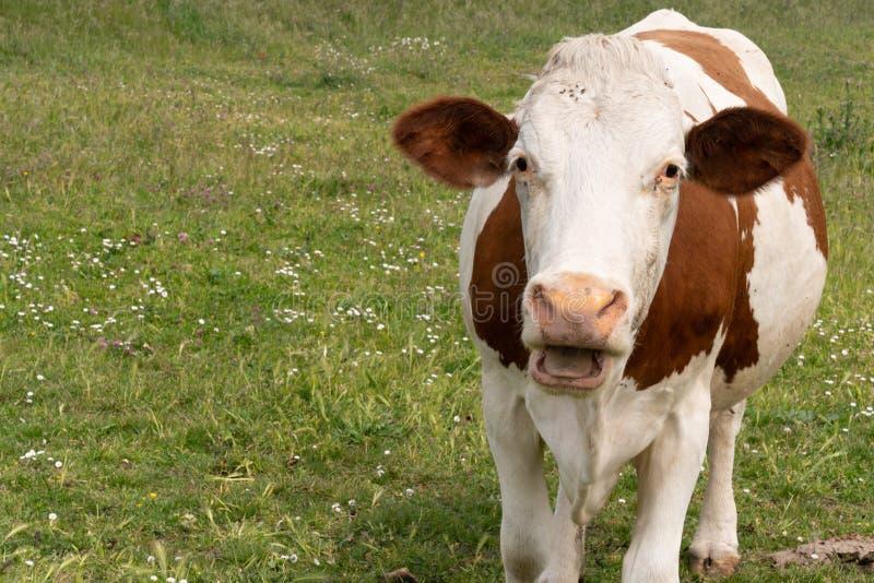 Ko som äter lantgården för brunt för mun för gräs den öppna vit djura och royaltyfri foto