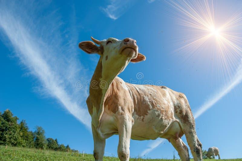 Ko som betar i frihet royaltyfria foton