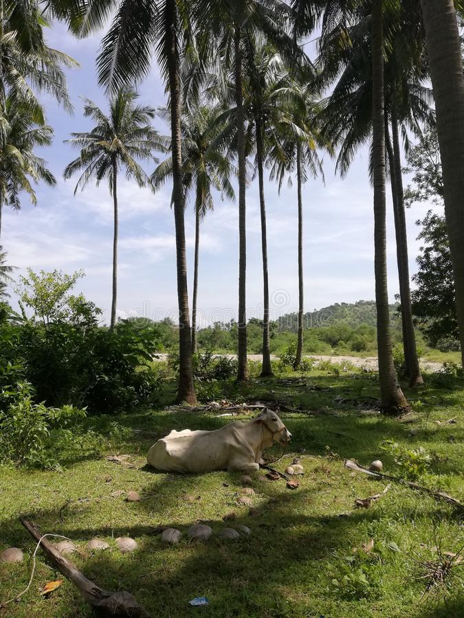 Ko som vilar i skugga förutsatt att av kokospalmer royaltyfri foto