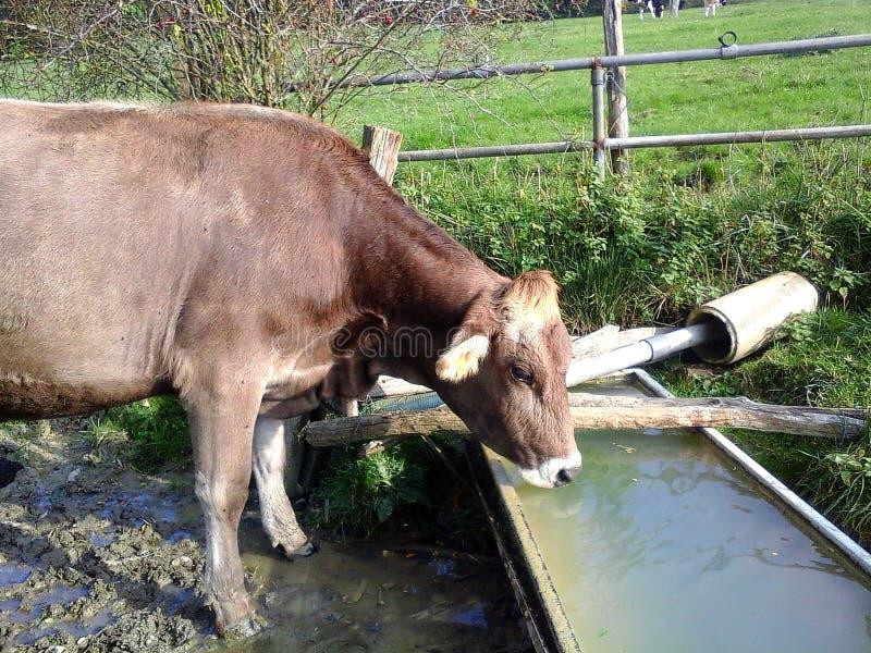 Ko t?rstiga drinkar f?r en ko arkivbild