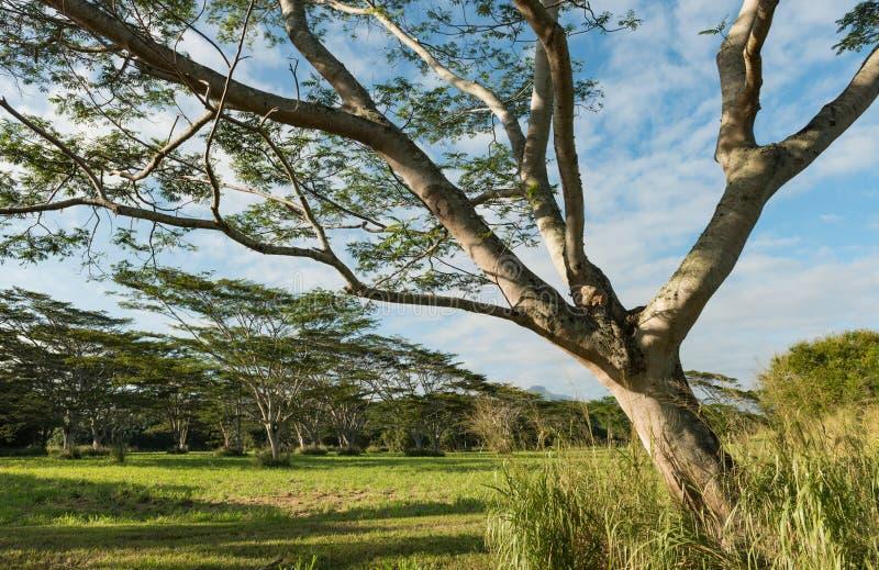 Koa kauai Havaí da acácia das árvores de Koa imagem de stock
