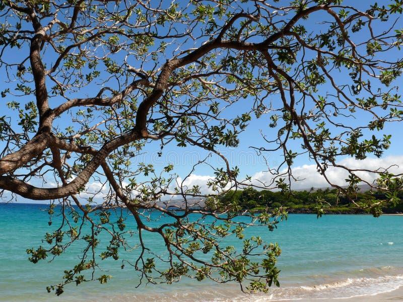Koaia d'acacia sur une plage image stock