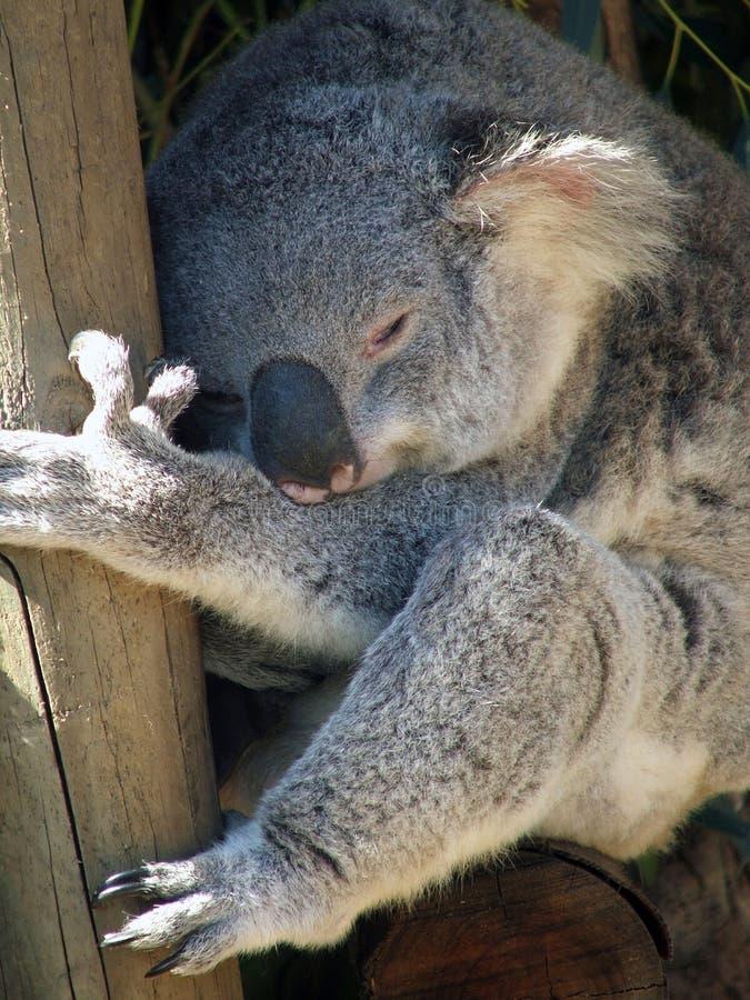 koala ζώων στοκ εικόνα