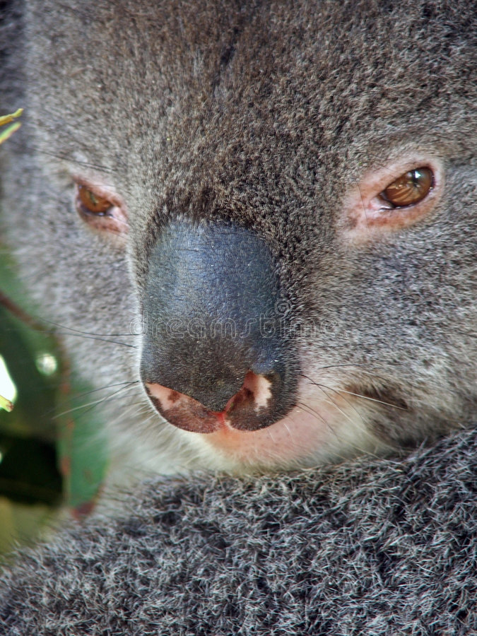koala ζώων στοκ εικόνες